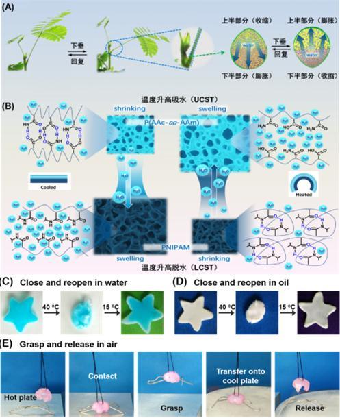 非对称性高分子水凝胶在智能水凝胶驱动器的多功能应用