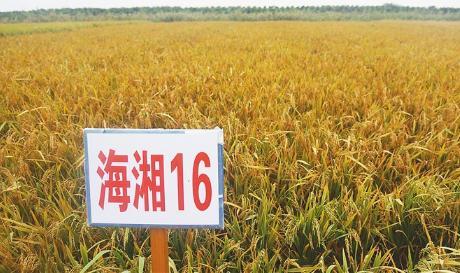 """""""海水稻""""的称谓、技术路线、产业路径引发争论"""
