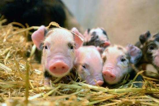 美科学家成功将生物肺移植到猪的身体
