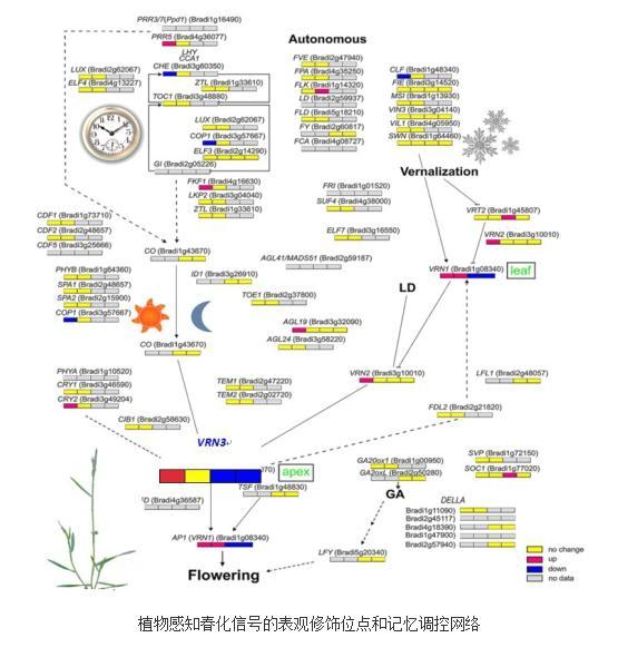 植物感知春化信号的表观修饰位点和记忆调控网络