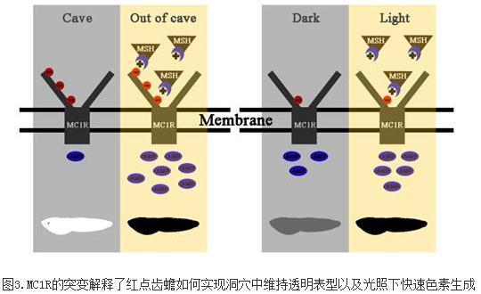 首次揭示MC1R突变与两栖类色素适应的关联