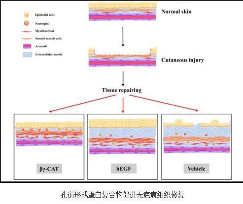 孔道形成蛋白复合物促进无疤痕组织修复