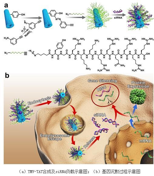 烟草花叶病毒(TMV):构建高效安全的基因输送体系