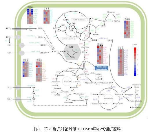 决定聚球藻胁迫耐受能力的关键基因