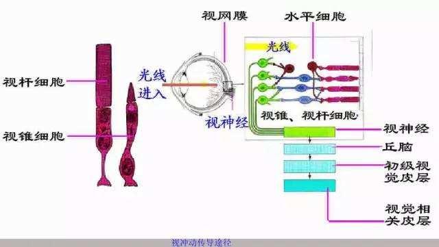 Müller胶质细胞转变为杆状光感受器,成功逆转先天性失明