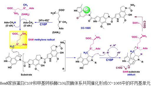 双酶体系共同催化形成CC-1065中的环丙基结构