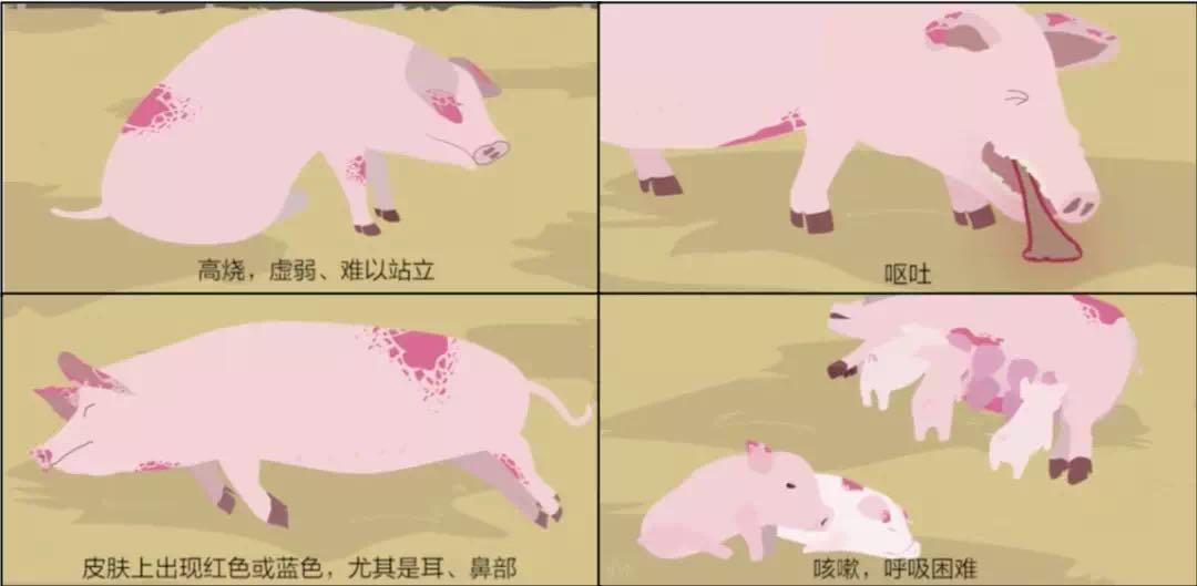 非洲猪瘟ASF四省份死亡五百多头,非洲猪瘟到底是什么?