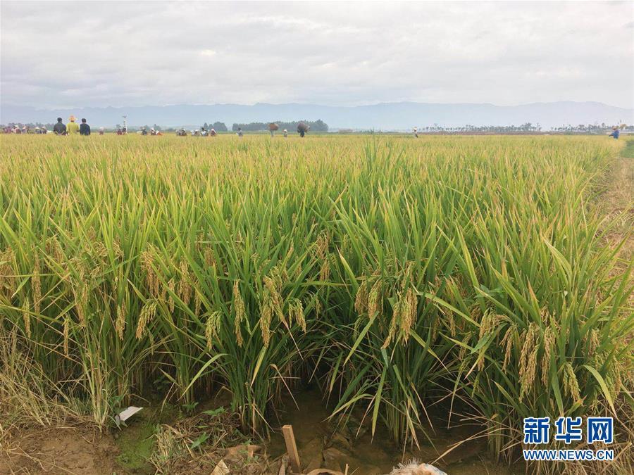 个旧市大屯镇超优1000超级杂交水稻平均亩产1152.3公斤再创新高