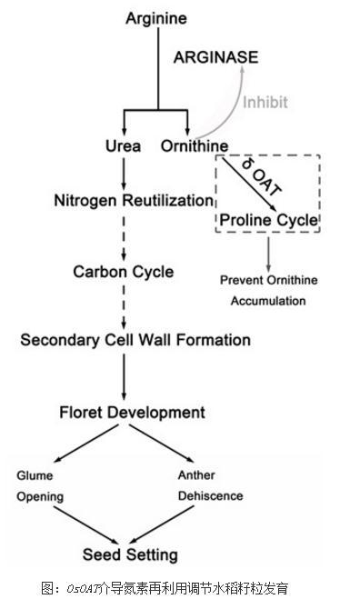 OsOAT在氮素再利用过程中发挥着重要作用
