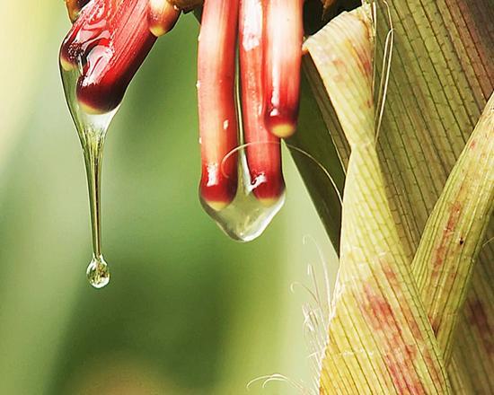 可以直接从空气中吸收氮并利用氮生长的玉米品种