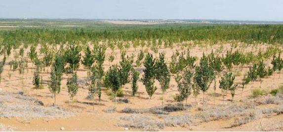 宁夏沙坡头治沙:干旱沙漠中栽植物有独门利器