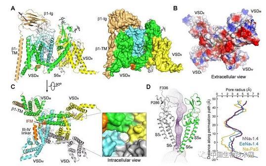 人源电压门控钠离子通道Nav1.4与β1复合物的结构