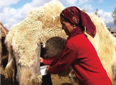 骆驼奶价格为牛奶数倍,不建议新生儿喝