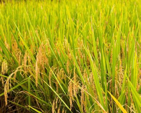 水稻精确定量栽培技术创多个高产纪录
