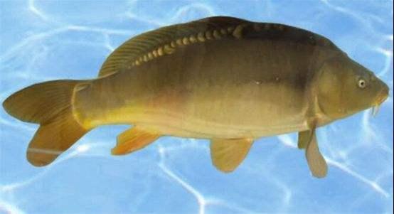 雅鲁藏布江中拉萨裸裂尻鱼和尖裸鲤的生长对近期气候变化的响应