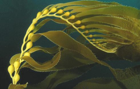 大型海藻底播增殖技术研究现状