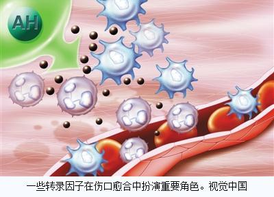 与皮肤愈合相关的四个关键转录因子