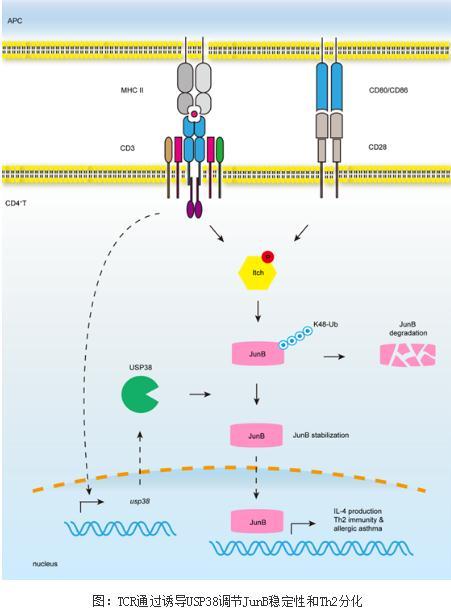 哮喘:机体调节Th2细胞分化的机制研究进展