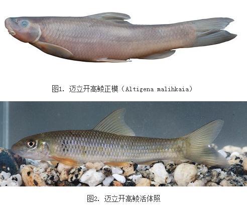 迈立开高鲮:缅甸发现鱼类新种