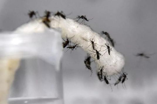 谷歌的姊妹公司Verily用AI在新加坡对抗蚊子
