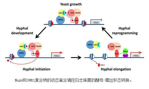 NuA4和SWR1复合物的动态离合调控白念珠菌的酵母-菌丝形态转换
