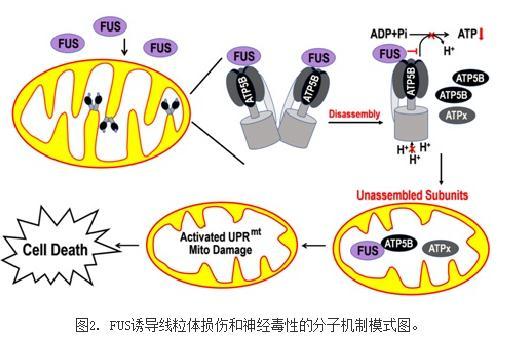 揭示FUS诱导神经退行性疾病的新机制