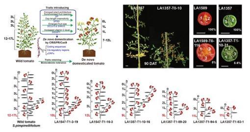 首次通过基因编辑实现野生植物的快速驯化