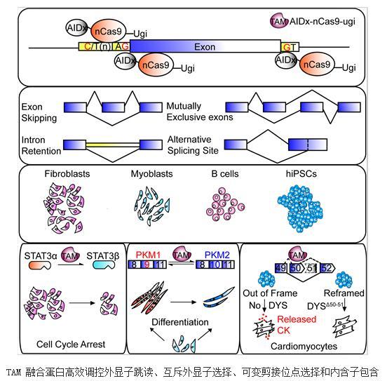 利用TAM基因编辑可高效调控RNA剪接