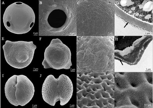基于蔷薇分支I的非固氮支系花粉形态性状演化重建分析