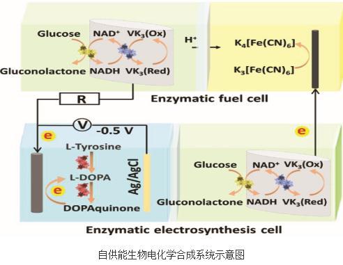 自供能生物电化学合成系统:酶燃料电池和生物酶电合成池二者结合
