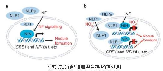 揭示硝态氮素抑制蒺藜苜蓿共生结瘤的新机制