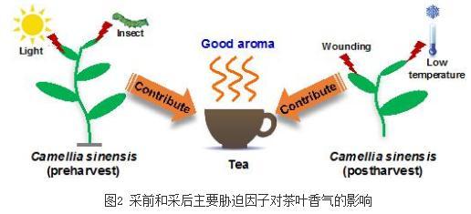 酶促反应下的茶叶香气形成机制
