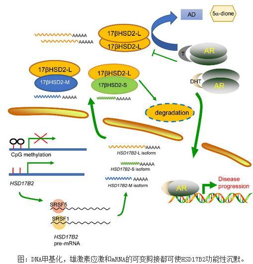 类固醇代谢酶17βHSD2:前列腺癌临床诊治的新生物标志物和治疗靶点