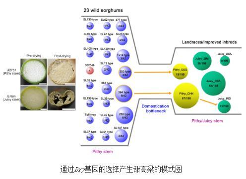 图位克隆方法找到控制甜高粱茎秆持汁性的Dry基因