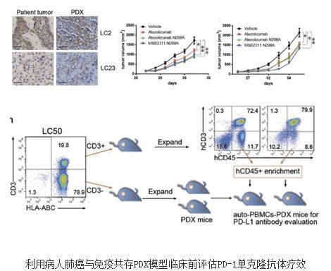 建立肿瘤免疫治疗的小鼠模型的方法