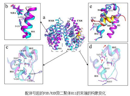 结构生物学等方法解析FXR及FXR/RXR复合物与不同类型激动剂的复合物结构