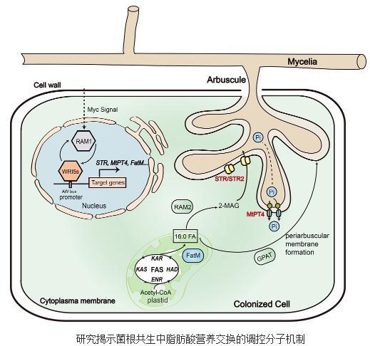丛枝菌根真菌脂肪酸为主要碳源营养的菌根共生营养交换的新理论框架