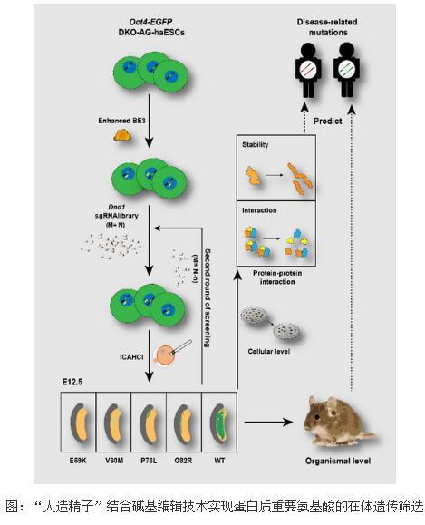 人造精子半克隆技术:重要基因Dnd1实现个体水平氨基酸功能位点的遗传筛选