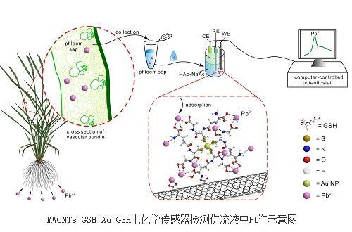 对复杂水稻伤流液环境中重金属离子的选择性电化学检测