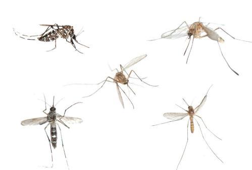 借力基于CRISPR的基因驱动可在在野外消灭蚊子