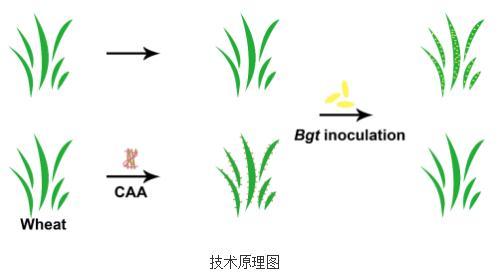 吴丽芳课题组制备出高效的小麦白粉病防护剂