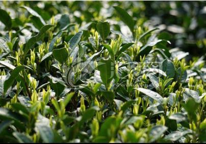 镇江《关于加快推动茶产业高质量发展的意见》解读