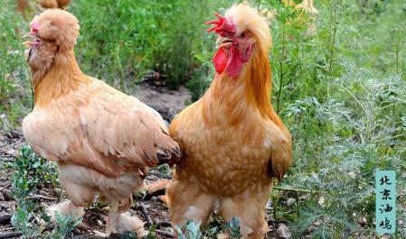 电子鼻技术:北京油鸡鸡胸肉真空包装、贮藏过程中的品质及风味变化规律
