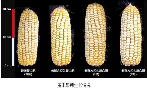 """新型控失化肥在""""一炮轰""""有效促进玉米增产"""