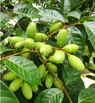 橄榄什么时候成熟上市?橄榄果是什么颜色?