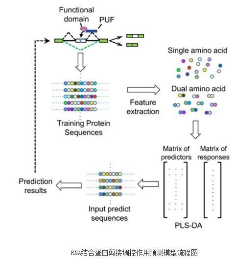 机器学习方法构建RNA结合蛋白的剪接调控作用预测模型