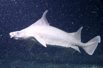 水下无人机探寻到一处罕见的鲨鱼苗群落