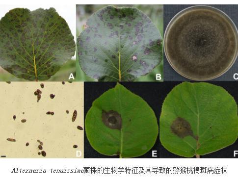 三种猕猴桃真菌性黑斑病、褐斑病及软腐病的致病菌