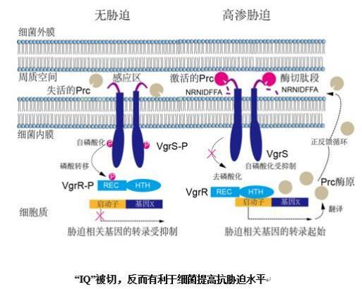 """细菌周质空间蛋白酶切除""""IQ"""",促进细菌抗逆胁迫水平"""