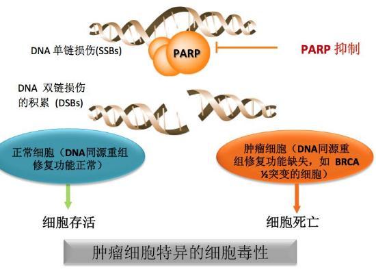 百济神州:PARP抑制剂pamiparib初步临床数据结果概述